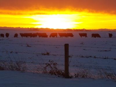 Pinehill-cattle-company--Jason-Hofer